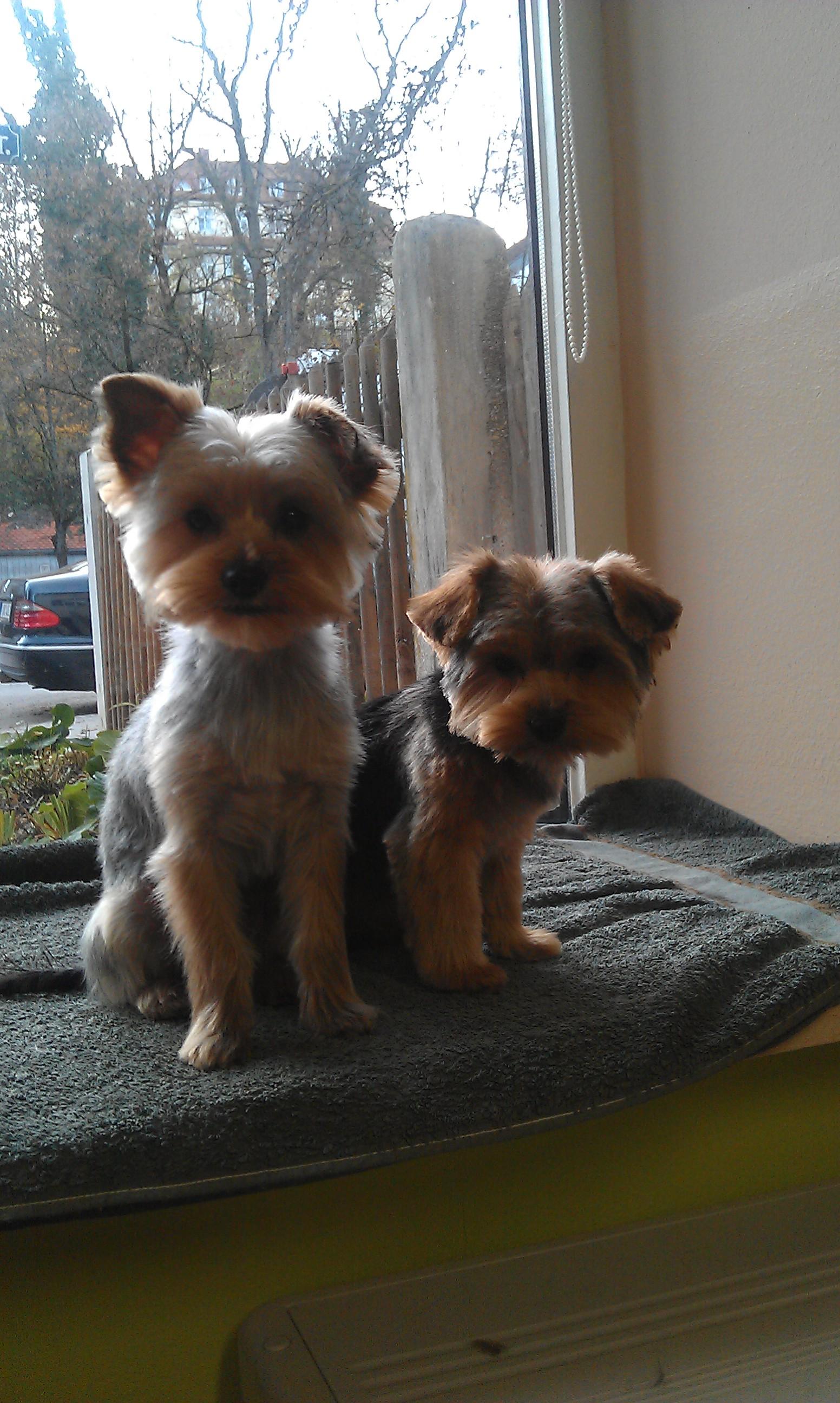 Leo + Cookie, Yorkshire Terriers