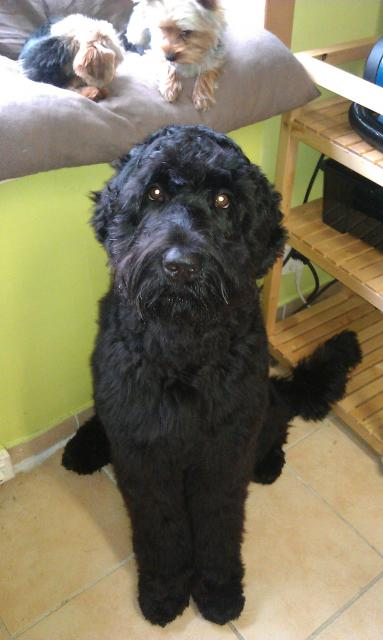 Bazooka, Russische Schwarze Terrier Dame
