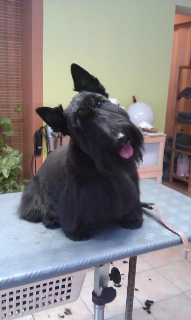 Scottish Terrier, Scotty
