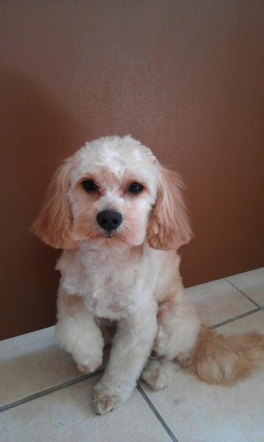 Cockapoo, Cavalier King Charles Spaniel- Pudel Mix
