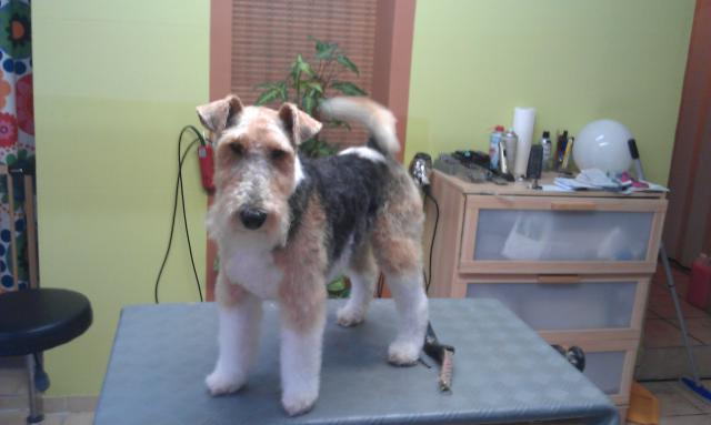 Zorro, Fox Terrier