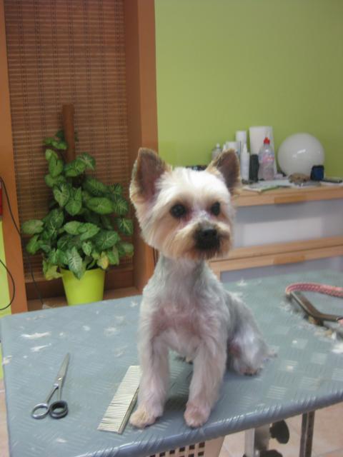 Suzi, Yorkshire Terrier