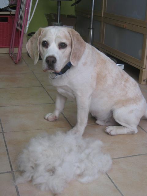 Idefix, Beagle