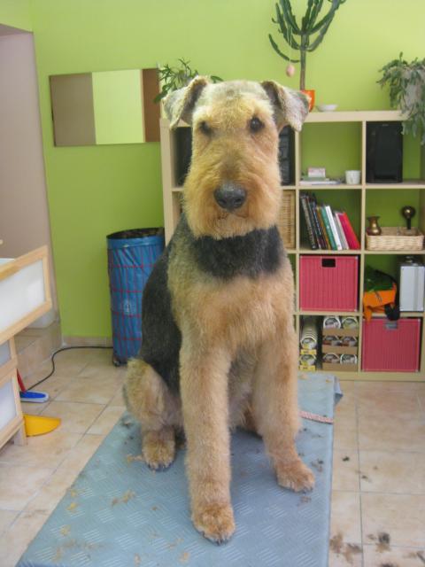 Felix, Airedale Terrier 13 Jahre alt im Sommerschnitt