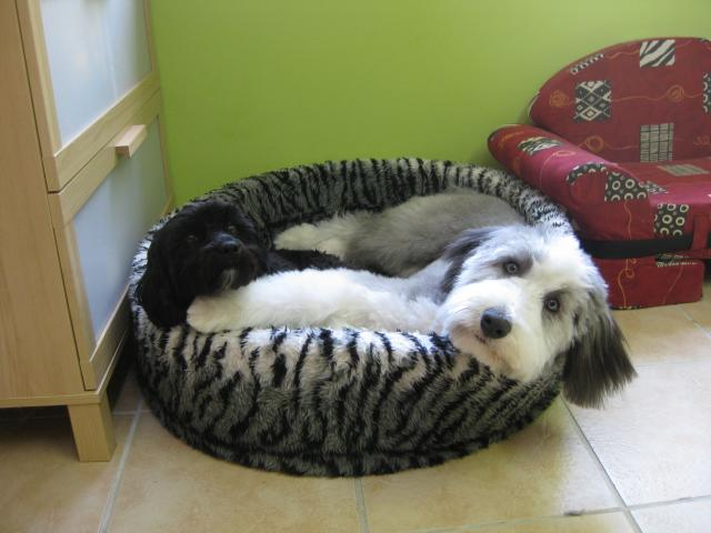 Yanti, Bearded Collie mit Tutyi